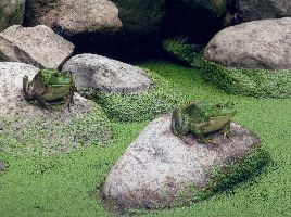 Frogs at Deep River