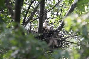 Coopers Hawk Chicks